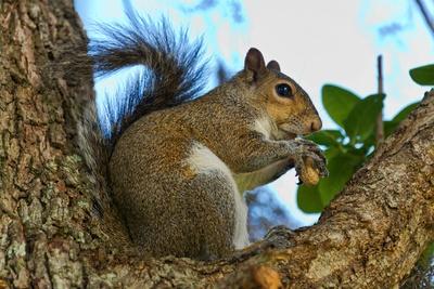Eichhörnchen in Smyrna Beach Florida
