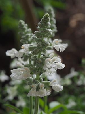 salbei weißblühend