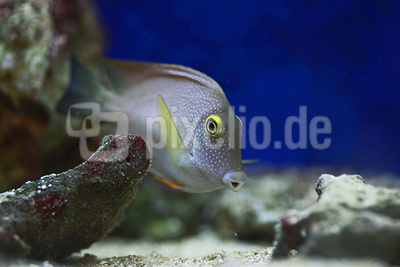 Augenfleck-Doktorfisch