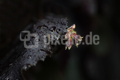 Rote Zellernuss