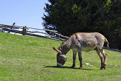 Ein Esel frisst Gras