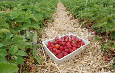 Im Erdbeerfeld