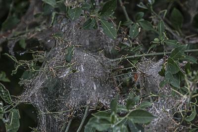 Netz der Gespinnstmotte