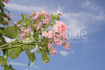 Blüte einer Ramira-Rose