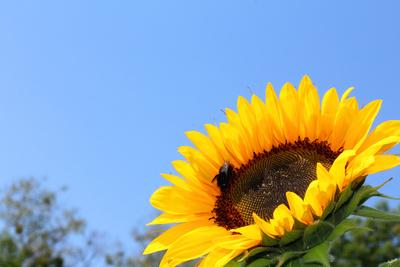 Im Sonnenblumenfeld...