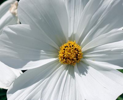 Sommerpracht in weiß 02