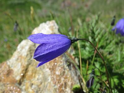 Der blaue Fingerhut