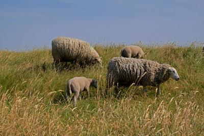 Dünen-Schafe (Holland)