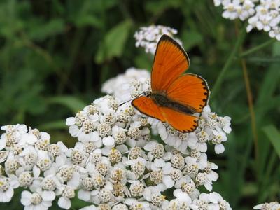 Der schöne orangene Schmetterling