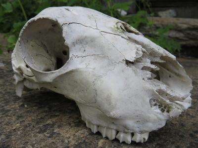 Das verstorbene Murmeltier
