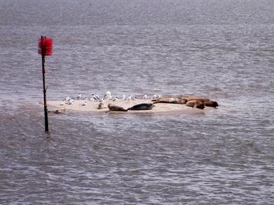 Seehundbank auf Fanø