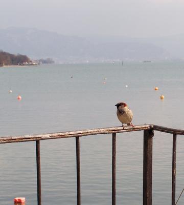 Der Spatz vom Bodensee