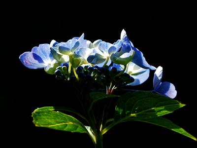 blaue hortensie 2