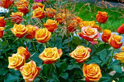 Rosen will ich dir schenken