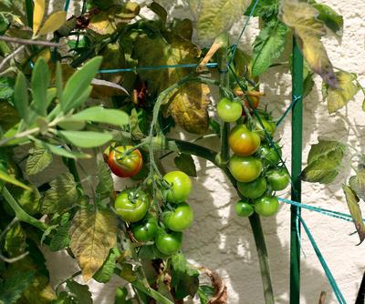 Tomaten.Zeit