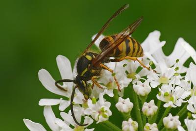Wespe auf Futtersuche