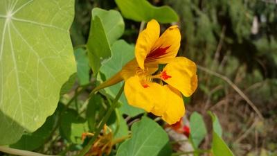 Blüte Kapuzinerkresse
