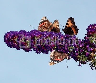 Konferenz der Schmetterlinge
