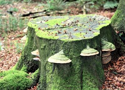 Buchenstumpf mit Baumpilzen