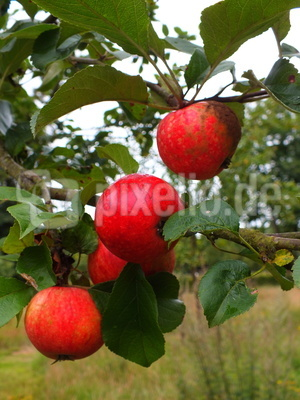pralle Frucht