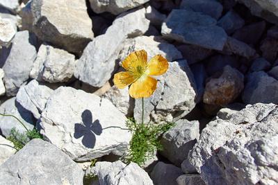 Blume inmitten eines großen Steinfeldes in den Alpen