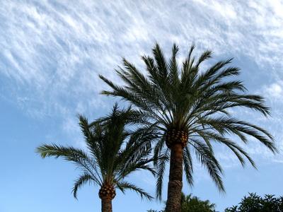 Palmen in La Fustera