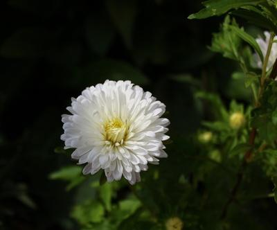 Herbstaster in weiß