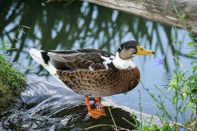 Abfluss-Ente
