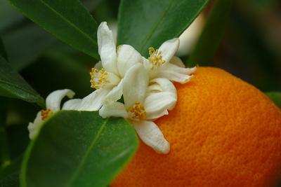 Orangenblüte und Frucht