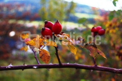 Hagebutten im Herbstlicht