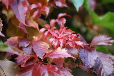Roter Herbstwein