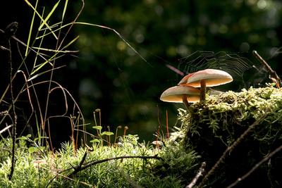 Kleine heile Welt. Leuchtpilze mit Spinnennetz