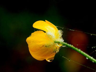 butterblümchen