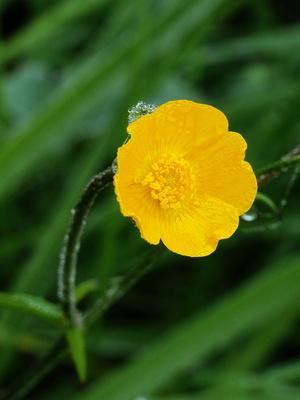 butterblümchen 2