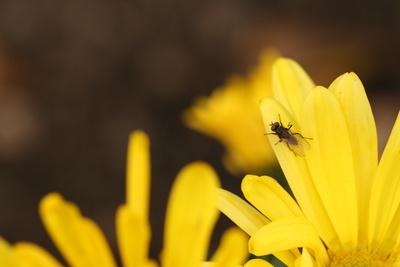 Insekt auf gelber Blume