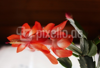 Weihnachtskaktus-Blüte 1