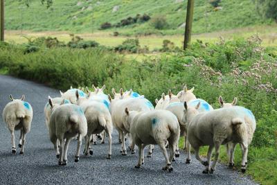 bunte Schafe