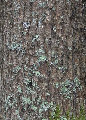 Hintergrund | Textur: Baumstamm