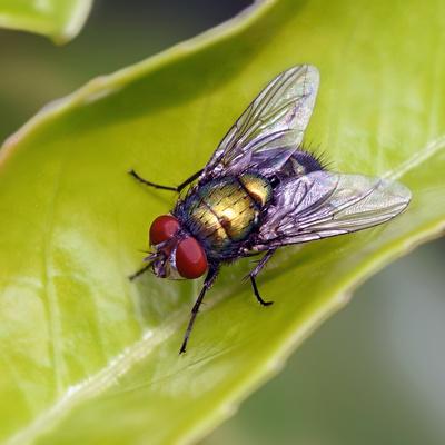 Fliege an Kirschlorbeer