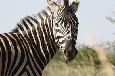 Zebra_Pilanesberge