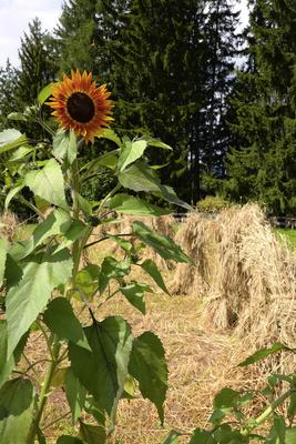 Sonnenblume, Dieme, Kornhocken, Getreide, Roggen
