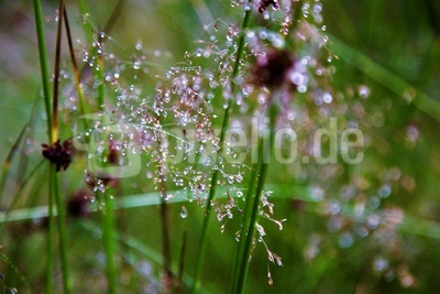 Morgentau am Gras