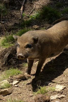 Ferkel, Hängebauchschwein