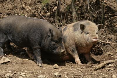 Hängebauchschweinfamilie