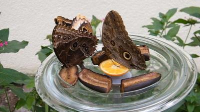 Schmetterlinge bei der Nahrungsaufnahme
