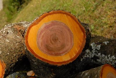 Schnittfläche Zwetschkenbaum