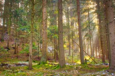 Sonne im Nadelwald