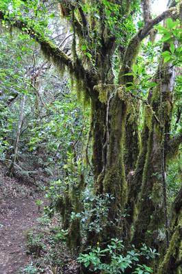 Im Anaga-Regenwald 5