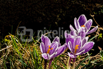 Lila Frühlingsboten