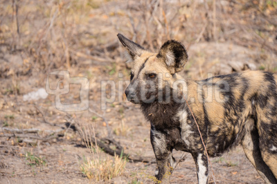 Kruger NP - Wildhunde